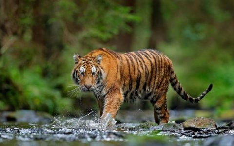 Tiger sighted in Kedarnath hills in Uttarakhand