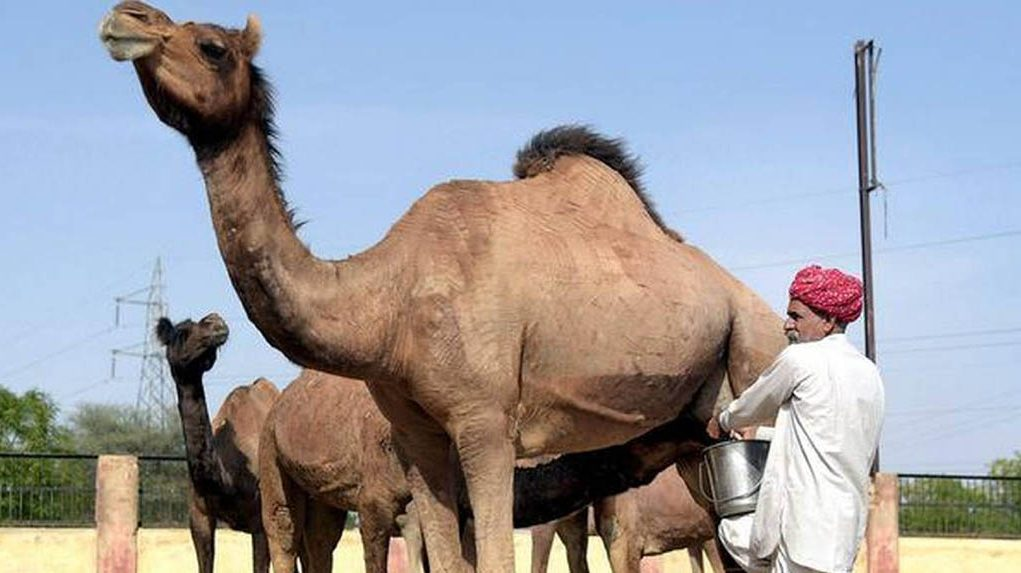 Railways transport camel milk from Rajasthan to Odisha for autistic kid