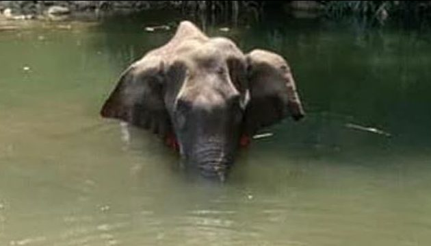 One arrested for pregnant elephant murder