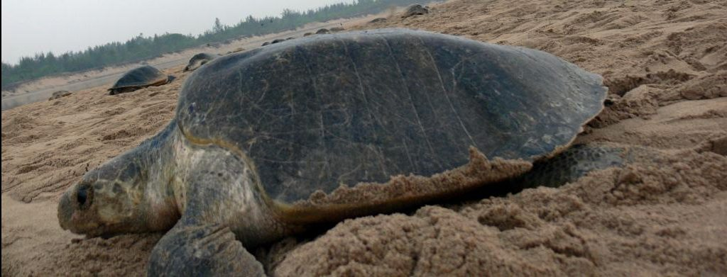 Odisha Govt and ZSI to tag Olive Ridley turtles near Rushikulya river mouth
